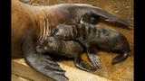 Twin sea lion pups born at SeaWorld - (3/4)