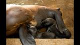 Twin sea lion pups born at SeaWorld - (2/4)