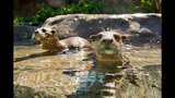 Otters and Marmosets highlight 'Freshwater Oasis' - (1/3)