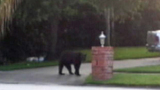 Photos: Bear strolls through neighborhood - (4/9)