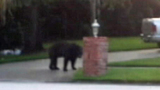 Photos: Bear strolls through neighborhood - (2/9)