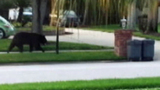 Photos: Bear strolls through neighborhood - (9/9)