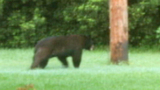 Photos: Bear strolls through neighborhood - (5/9)