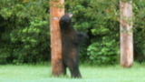 Photos: Bear strolls through neighborhood - (6/9)