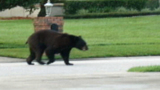 Photos: Bear strolls through neighborhood - (3/9)