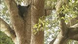 Photos: Bear found in tree in Seminole Co.… - (2/6)