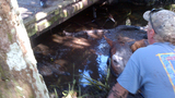 Horse rescued from neck-deep muddy creek - (2/4)