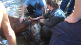 Horse rescued from neck-deep muddy creek - (4/4)