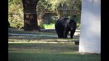 Photos: Black bear spotted in Seminole neighborhood - (9/9)