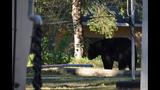 Photos: Black bear spotted in Seminole neighborhood - (2/9)