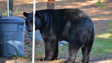 Photos: Black bear spotted in Seminole neighborhood - (3/9)