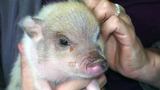 Photos: Twinkie the therapeutic pig - (10/10)