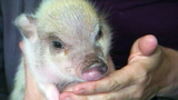Photos: Twinkie the therapeutic pig - (9/10)