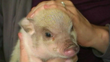 Photos: Twinkie the therapeutic pig - (6/10)
