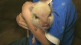 Photos: Twinkie the therapeutic pig - (1/10)