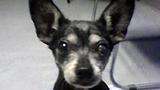 Photos: Chihuahua found in trash bin - (1/2)