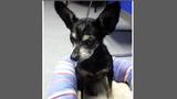 Photos: Chihuahua found in trash bin - (2/2)