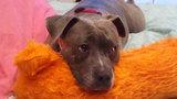 Photos: Family's dog injured during Longwood burglary - (3/5)