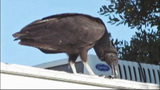 Photos: Vultures invade Everglades, pic… - (8/9)