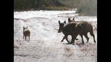 Photos: Wild hogs cause problems at Orange… - (2/4)