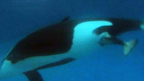 Photos: Killer whale calf born at SeaWorld SanDiego - (2/6)