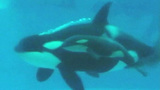 Photos: Killer whale calf born at SeaWorld SanDiego - (1/6)