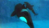 Photos: Killer whale calf born at SeaWorld SanDiego - (5/6)