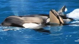 Photos: Killer whale calf born at SeaWorld SanDiego - (3/6)