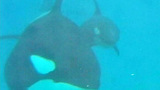 Photos: Killer whale calf born at SeaWorld SanDiego - (4/6)