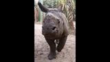 Jahi the Rhinoceros at Central Florida Zoo_3203687