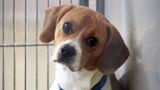 Photos: Pictures of Rufus the beagle - (4/8)