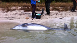 Photos: Dolphins dying in Indian River Lagoon… - (3/3)