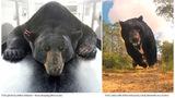 Photos: Largest Florida black bear captured - (4/10)