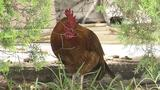 Photo: Chickens of Oviedo - (9/10)