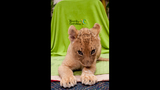 Photos: Lion cubs born at Busch Gardens - (2/5)