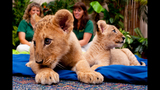 Photos: Lion cubs born at Busch Gardens - (1/5)