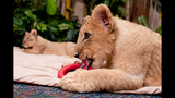 Photos: Lion cubs born at Busch Gardens - (5/5)