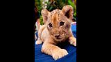 Photos: Lion cubs born at Busch Gardens - (3/5)