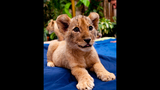Photos: Lion cubs born at Busch Gardens - (4/5)