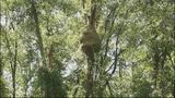 Photos: 20-foot-wide hornet's nest found - (3/6)
