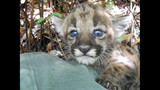 Photos: Baby panther born in the wild - (3/5)