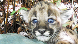 Photos: Baby panther born in the wild - (5/5)
