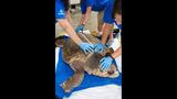 Photos: 'Big Mama' loggerhead sea turtle… - (1/3)