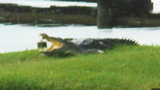 Photos: 700-pound crocodile found in back yard - (4/9)