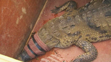 Photos: 700-pound crocodile found in back yard - (9/9)