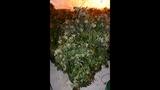 Photos: Apopka marijuana grow house - (1/6)