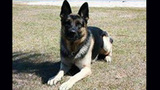 Photos: Police dog 'Seabee' hurt in takedown - (2/3)