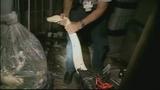 Photos: 100-pound python found in Miami shed - (7/11)