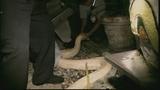 Photos: 100-pound python found in Miami shed - (3/11)