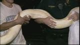 Photos: 100-pound python found in Miami shed - (6/11)
